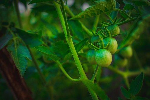 Eggplant, Plant, Aubergine, Food, Vegetable, Health