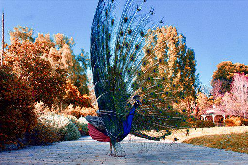 Peacock, Feathers, Bird, Large, Colorful, Plumage