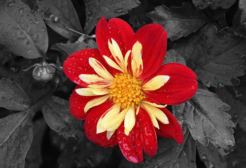 Black And White, Red Flower, Close Up, Flower, Yellow