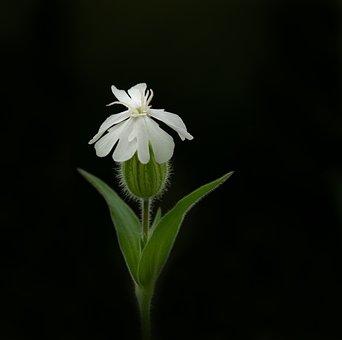 White, Campion, Blossom, Bloom, Dianthus, Melandrium