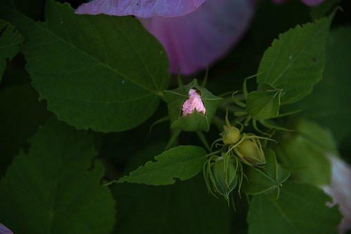 Hibiscus, Flower, Pink, Blossom, Summer, Garden, Bud