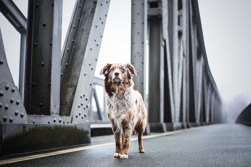 Dog, Bridge, Architecture, Quadruped, Pet, Animal