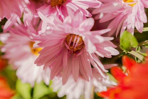 Chrysanthemum, Autumn Flowers, Pink, Pink Flower