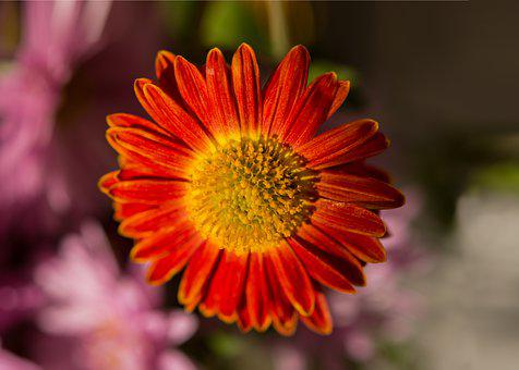 Red Chrysanthemum, Chrysanthemum, Autumn Flowers, Red