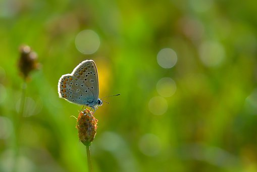 Butterfly, Common Blue, Meadow, Nature, Close Up