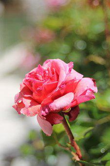 Pink, Flower, Spring, Close Up, Nature, Plants