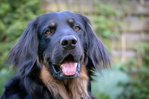 Dog, Head, Animal Portrait, Hovawart, View, Face