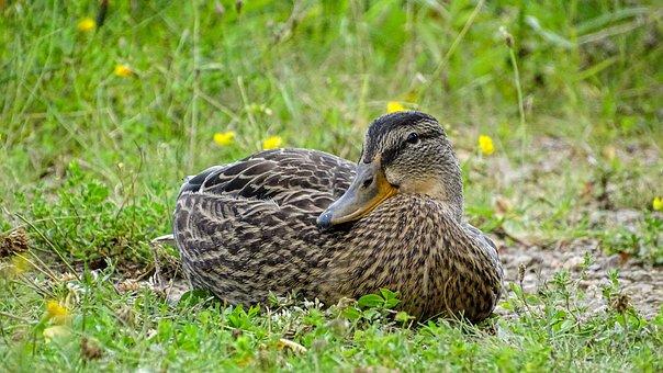 Duck, Beast, Waterfowl, Water Bird, Color, Wild Ducks