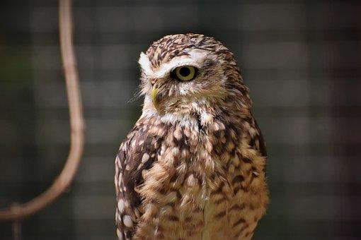 Owl, Raptor, Bird, Predator, Bird Of Prey, Feather