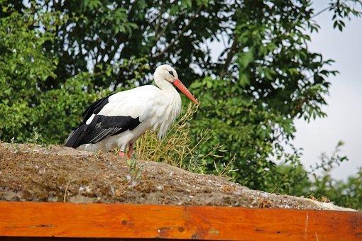 Stork, Rattle Stork, Bird, Nature, White Stork, Feather