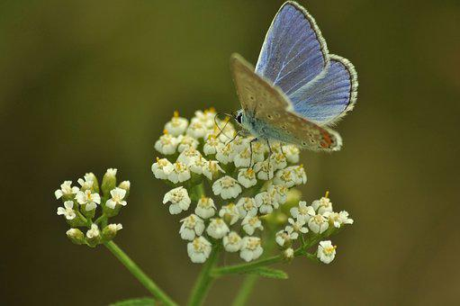 Moth, Butterfly, Blue, Flower, White, Meadow, Nature