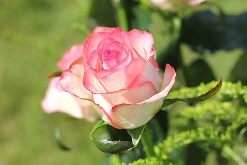 Rose, Blossom, Bloom, Nature, Romantic, Flower, Pink