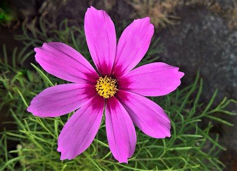 Cosmea, Flower, Flower Garden, Summer, Single Bloom