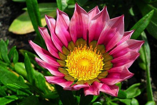 Gazania, Flower, Nature, Garden, Summer, Macro, Closeup
