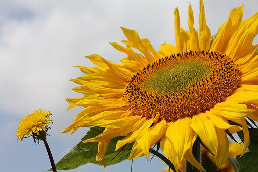 Sunflower, Summer, Nature, Landscape, Flower, Natural