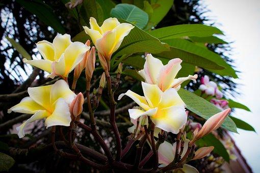 Plumeria, Flower, Thailand Flowers, White Flowers