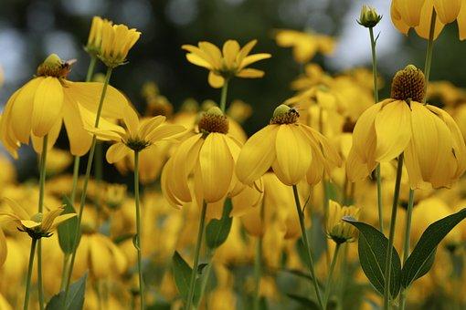 Rudbeckia, Autumn Sun, Blütenmeer, Flowers, Yellow