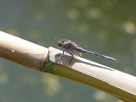 Dragonfly, Blue Dragonfly, Flying Insect, Cane