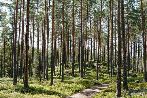Sweden, Forest, Trees, Tree Trunks, Pine Forest