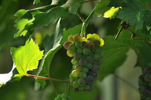 Grapes, A Bunch Of, Mature, Loza, Vineyard, Fruit