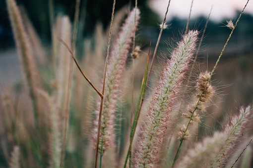 Flowering Grass, Outdoor, Nature, Grass, Mead, Spring