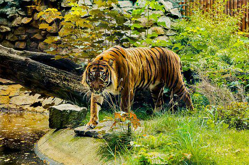 Tiger, Orange, Green, Zoo, Animals, Cat, Nature, Wild