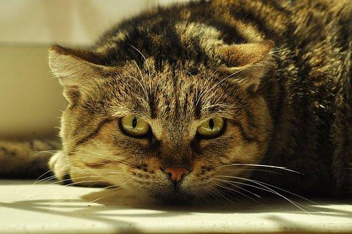 Cat, Danger, Predator, Hunting, View, Portrait, Head