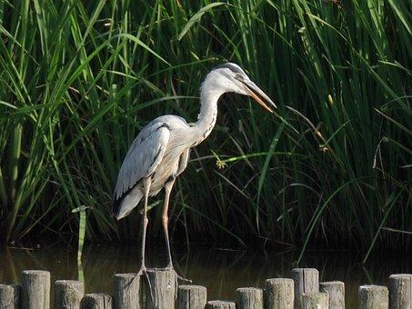 Animal, Pond, Water, Waterweed, Bird, Wild Birds, Heron