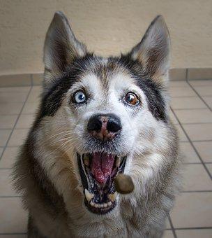 Husky, Dog, Animal, Wolf, Nature, Pet, Sled Dog, Mammal