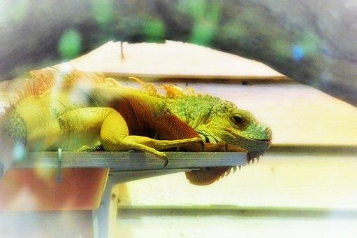 Iguana, America Subtropical, Reptile, Green, Lizard