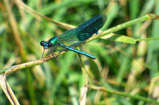 Dragonfly, Demoiselle, Insects, Colorful, Color, Leaves
