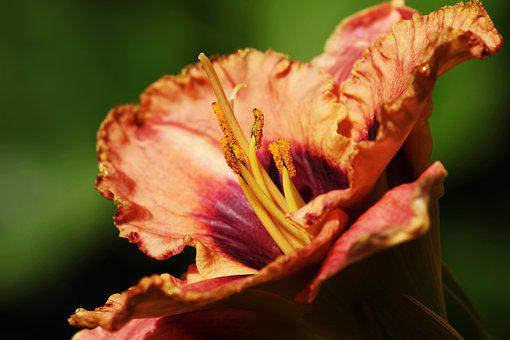 Daylily, Lilies, Edible Flowers, Close Up, Garden