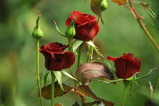 Burgundy, Roses, Red, Green, Background, Three, Love