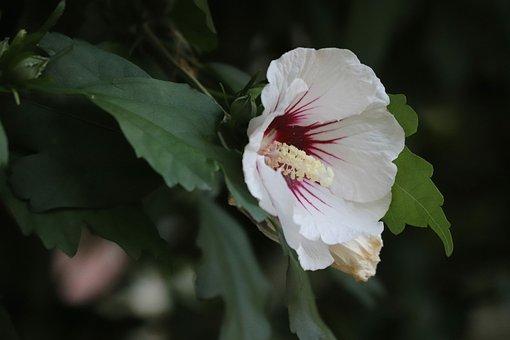 Hibiscus, Malvaceae, Mallow, Flower, Bloom, Marshmallow
