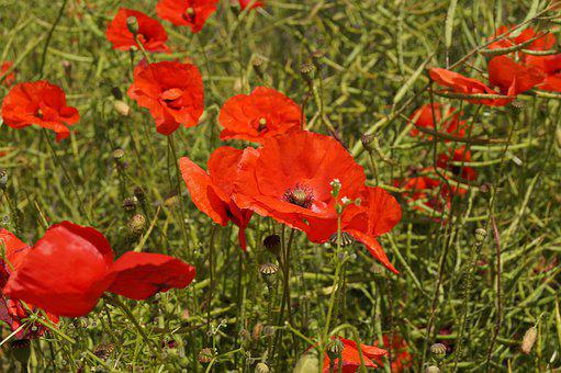 Poppy, Fields, Nature, Field, Red, Flower, Bloom