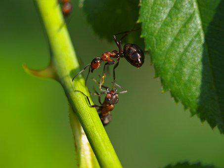 Ant, Wood Ant, Animal, Nature, Insect, Macro, Close Up