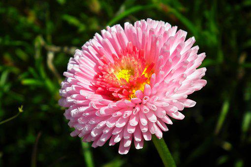Daisy, Flower, Pink, Summer, Garden, Nature, The Petals