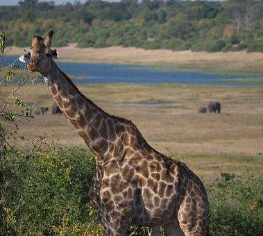 Giraffe, Africa, Safari, Animal World, Mammal, Neck