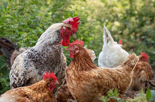 Chickens, Farm, Spout, Art Fair, Of Course, Hens, Hahn