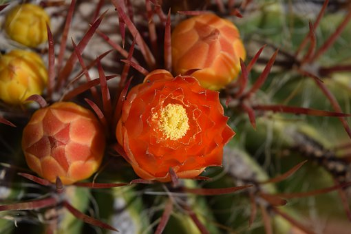 Desert, Cactus, Cacti, Orange, Flower, Close Up, Plant