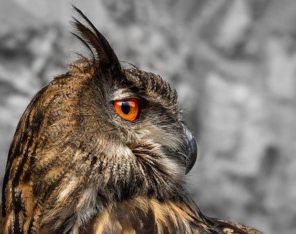 Eagle Owl, Owl, Bird, Nature, Feather, Bird Of Prey