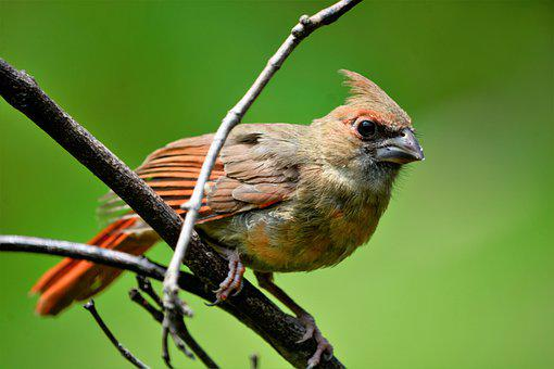 Bird, Cardinal, Female, Perched, Colorful, Closeup