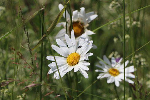 Flowers, Marguerittes, Nature, White, Petals