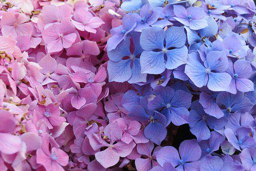 Flowers, Pink, Blue, Travel, Azores, Flower, Spring