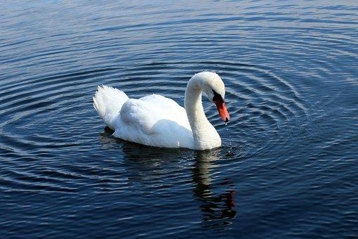 Swan, Lake, Water Bird, Water, Plumage, White, Swim