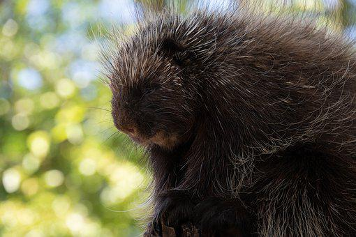 Porcupine, Animal, Zoo, Quill, Rodent