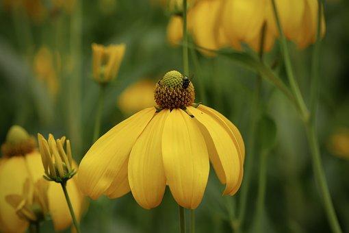 Rudbeckia, Autumn Sun, Flowers, Yellow, Bloom, Plant