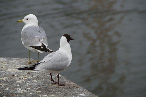 Gulls, Black Headed Gull, Skua, Birds, Waterfowl, Sea