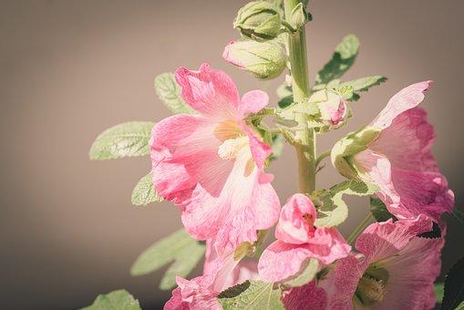 Stock Rose, Flower, Flowers, Pink, Bloom, Garden