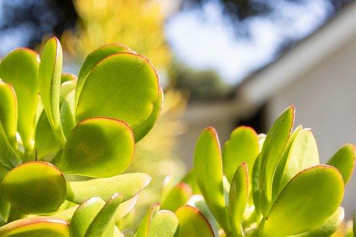 Leaves, Succulent, Outside, Garden, Natural, Plant